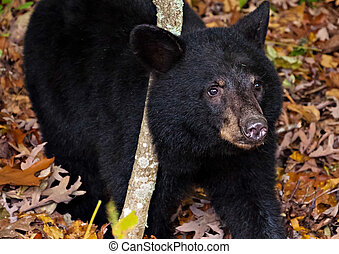 American black bear cub, seen along Skyline Drive in...