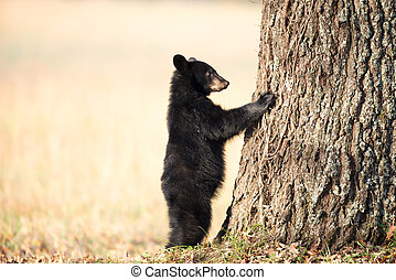 American black bear cub clinging to the side of a tree in...