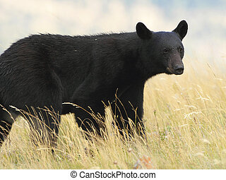 American Black Bear in a Meadow - Waterton Lakes National Park, Canada