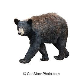 American Black Bear on white background