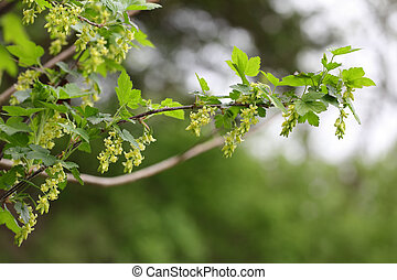 American Blackcurrant ( Ribes Americanum) Yellow Flower...