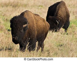 American Buffalo.