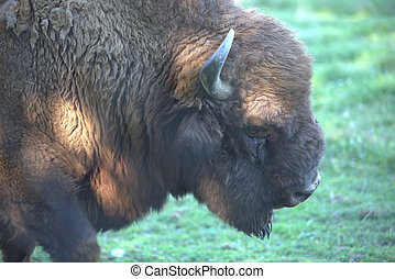 american buffalo, bison grazing on the savanna