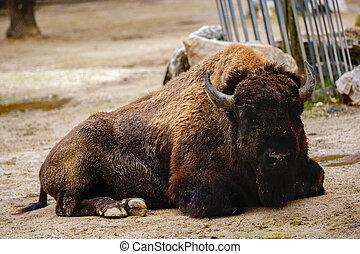 American buffalo bison on farm