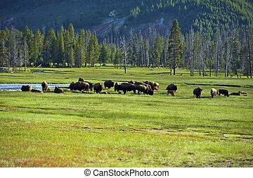 American Buffalo in Yellowstone