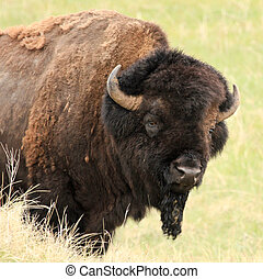 American buffalo on the prairie - Classic stance of a big...