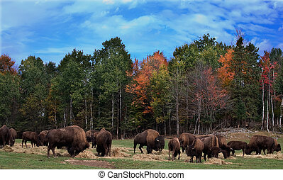 On a fall day, several buffaloes are observed.
