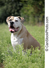 american bulldog in freier Natur - American Bulldog im hohen...