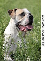 american bulldog in freier Natur - American Bulldog liegt...