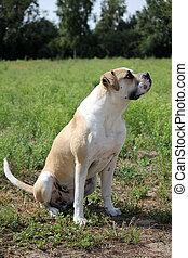 american bulldog in freier Natur - American Bulldog sitzt...