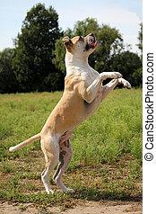 american bulldog in freier Natur - American Bulldog springt...