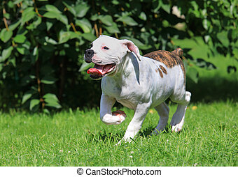 American bulldog puppy running on the grass