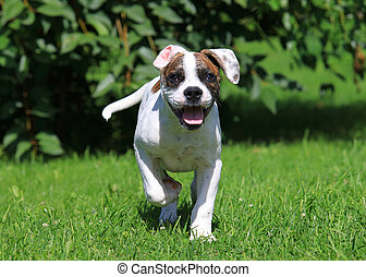American bulldog puppy running outdoors