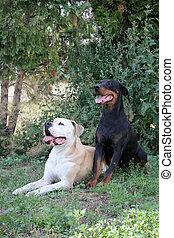 American Bulldog und Dobermann liegen auf einer Wiese