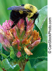 American Bumblebee on Clover with Dew