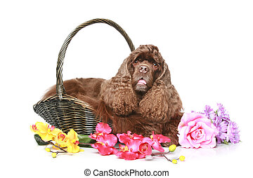 American cocker spaniel in a basket