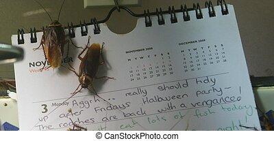 American Cockroach - Periplaneta americano