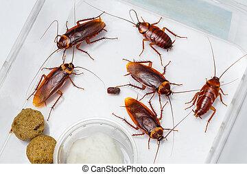 American cockroach - Periplaneta Americana in box with food...