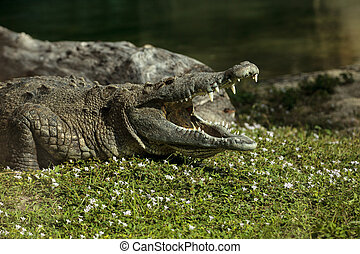 American crocodile Crocodylus acutus suns itself with its large teeth visible on the side of a pond in Southern Florida.