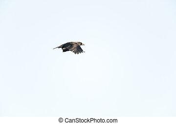 American Crow catch light