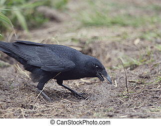 American crow standing on the ground