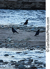 American crow threesome - A group of three american crows ...
