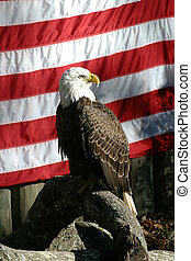 American Eagle - A photo of a bald eagle posing in front of...