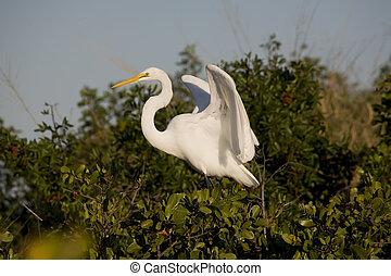 Egret - American Egret