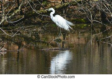 American Egret Walking Pond Edge