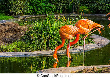 American Flamingo couple drinking water together, colorful tropical birds from America