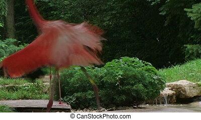 American Flamingo Mating Ritual - American flamingo mating...