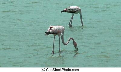 american flamingos  feeding