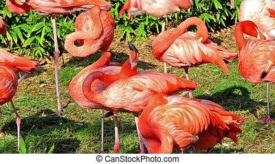 american flamingos - pink american flamingos colony
