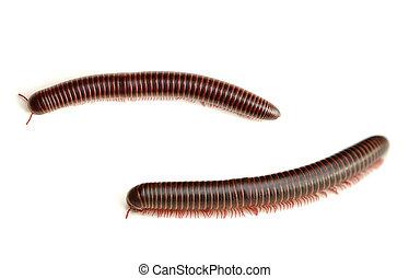 Millipede - American Giant Millipede (Narceus americanus ...