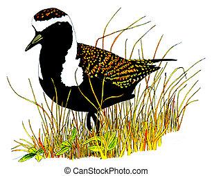 American Golden-Plover - Pluvialis dominica