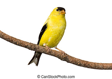 american goldfinch at rest on pine branch