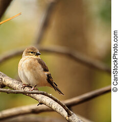American Goldfinch, Carduelis tristis - American goldfinch,...