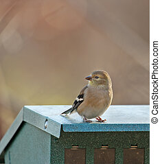 American Goldfinch (Carduelis tristis) - American goldfinch...