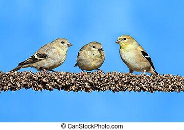 American Goldfinch (Carduelis tristis) - American...