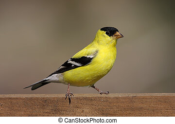 American Goldfinch (Carduelis tristis) on a fence with a...