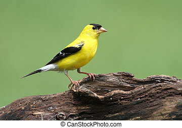 American Goldfinch (Carduelis tristis) on a log