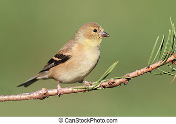 American Goldfinch (Carduelis tristis) perched on a branch...