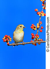 American Goldfinch (Carduelis tristis) perched on Oriental...