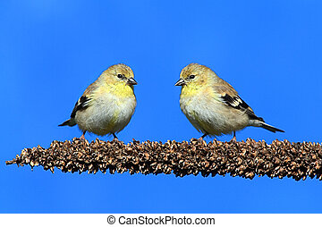 American Goldfinch (Carduelis tristis) perched with a blue...