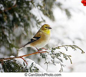 Nice image of a brightly colored American goldfinch perched on a cedar branch in a snowstorm.