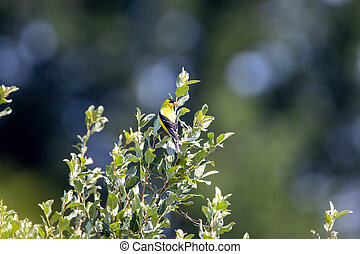 American Goldfinch in a Tree