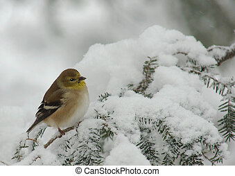 American Goldfinch (Carduelis tristis) perched on a snow covered Evergreen during a snow storm in winter.