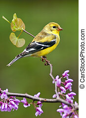 American Goldfinch in Spring Season - American Goldfinch...