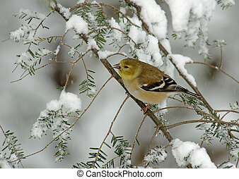 A American Goldfinch (Carduelis tristis) perched on a snow covered Evergreen during a snow storm in winter.