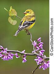 American Goldfinch on Redbud